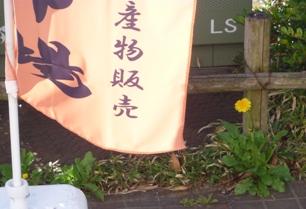 タンポポが咲きました1